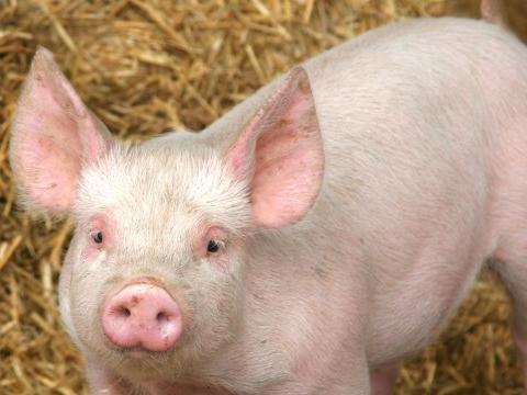 Купувам Малки прасенца за доугояване
