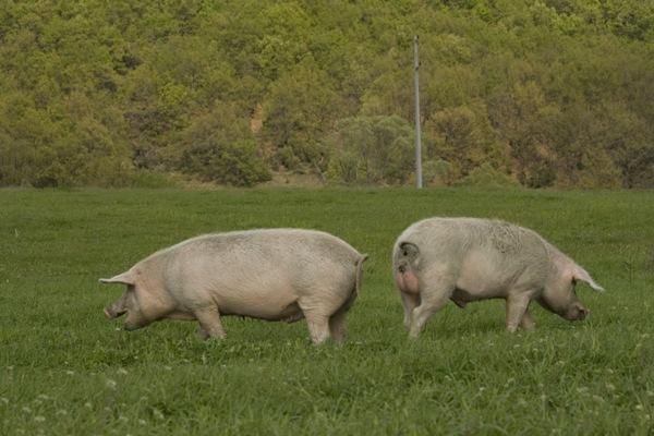 Купувам Угоени прасета за месо