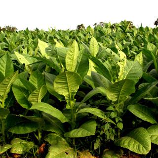 Купувам Едролистен тютюн тип Вирджиния / Tobacco Type Virginia on leaves