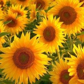 Купувам Предлагаме слънчогледово олио внос от Русия