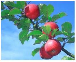 Купувам Ябълки