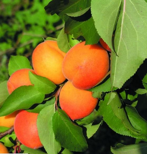 Buy Apricot
