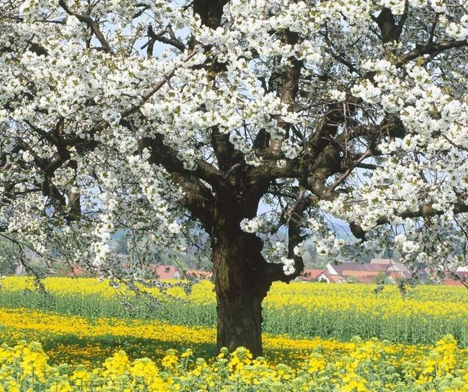 Купувам Череши (Prunus avium., Rosaceae)