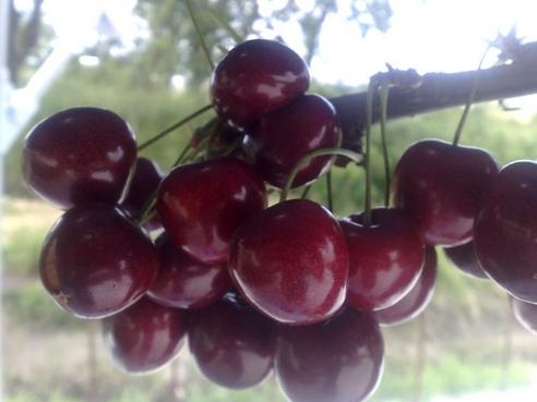 Купувам Сладка череша (Prunus avium., Rosaceae)