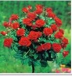 Купувам Щамбови Рози