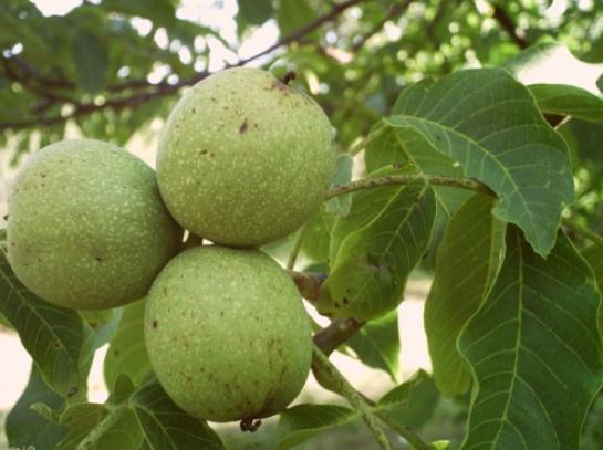 Купувам Плод на зелен орех