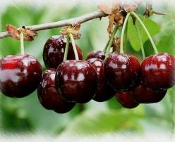 Купувам Череши - едри плодове