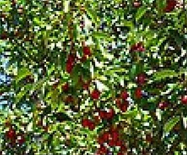 Купувам РЕГИНА Плодове са едри до много едри, червенокафяви, твърдомесести, ароматни