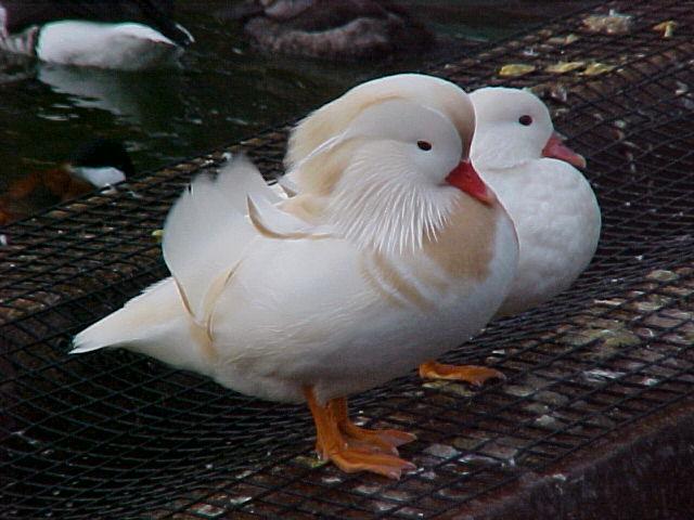 Купувам Мандаринки патици бели