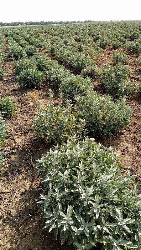 Купувам Етерично масло Градински чай /Салвия/ - Salvia Officinalis