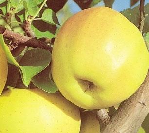 Разсад фиданки и дръвчета Ябълки - Овощен Разсадник ЕЛИТ