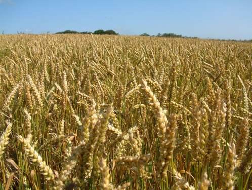 Купувам Пшеница