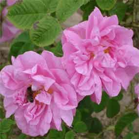Купувам Изсушен розов цвят в различни видове разфасовки.