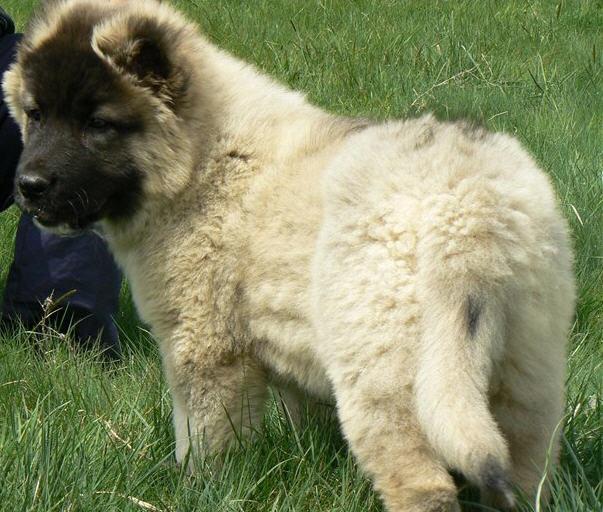 Купувам Кученца овчарка