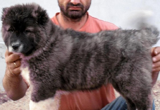 Купувам Кученца Кавказка овчарка