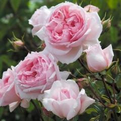 Роза The Wedgwood Rose English Roses