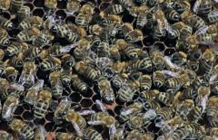 Българска медоносна пчела