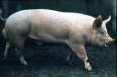Голямата бяла свиня - Порода Йоркшир