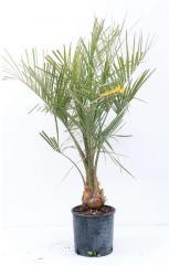 Палма Butia capitata