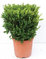 Buxus faulkner квадрат
