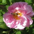 Рози, венчелистчета, розоварна