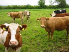 Фураж за телета