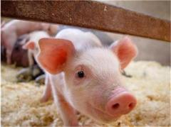 Фураж за свине