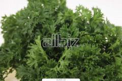 Seeds of curly parsley