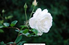 Бели рози