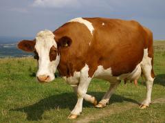Селектирани крави