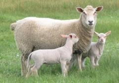 Дребен рокат добитък