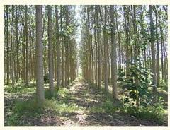 Amaranth wood