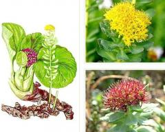 Златен корен, екзотични билки