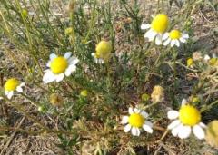 Лайка, подрумиче , цвят, Achillea millefolium (L.)