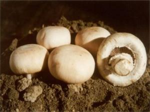 Култивирани печурки