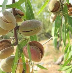 Almond seedlings