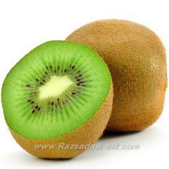 Разсад фиданки и дръвчета Киви Kiwi - Овощен Разсадник ЕЛИТ