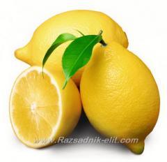 Разсад фиданки и дръвчета Лимони, Портокали, Мандарини,Грейпфрут - Овощен Разсадник ЕЛИТ