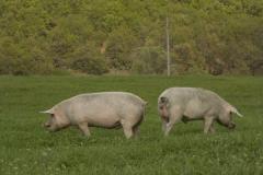 Угоени прасета за месо
