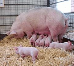 Свине, отглеждани за месо