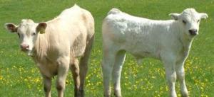 Фураж за угояване на телета