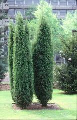 Синя смрика - Juniperus communis Hibernica