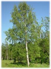Бяла бреза - Betula pendula