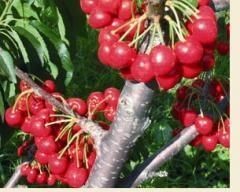 Seedlings of Japanese cherry tree