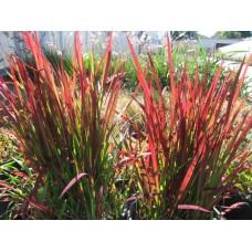 Многогодишно тревисто растение Императа
