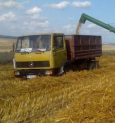 Oats grain