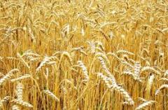 Пшеница Андино