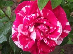 Роза Биколйорна