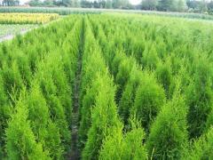 Вечно зелени декоративни храсти