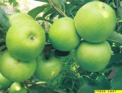 Ябълка - посадъчен материал